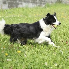 Groom your border collie regularly to make him shine.