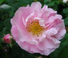 'Celsiana' * (pre 1750) - syn. 'Abondante', 'Belle Couronnée', 'La Coquette', 'Mutabilis', 'Rosier de Cels' - AGM 2012. Damascenerroos. Zomerbloeier. Halfgevulde, roze tot roomwitte bloemen (10cm) in kleine trossen. Geurig. 180cm x 150cm.