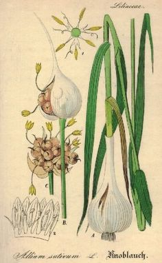 Botanical illustration of garlic allium sativum