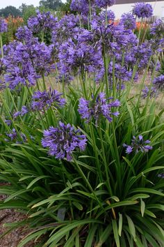 Agapanthus 'Navy Blue' - hardy to Aka 'Midnight xx'. Hardy Perennials, Flowers Perennials, Planting Flowers, Flowers Garden, Rock Garden Plants, Cottage Garden Plants, Terrace Garden, Royal Blue Flowers, Exotic Flowers