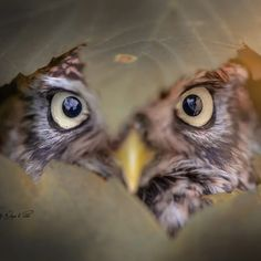 Owl behind leaf