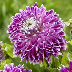 Dahlia Vancouver. A new look in dinnerplate dahlias. The slightly narrower petals curve upward and are frosted with white. The plants produce dozens of big flowers.