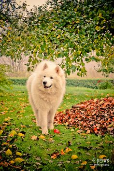 Besides the Corgi named Neville that WILL be in my life someday, there will also be a Samoyed, possibly named Samwise. Because he'd need a big name :D