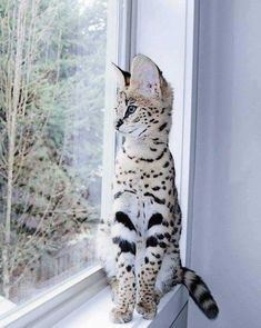 Stunning Savannah Pretty Animals, Cute Little Animals, Pretty Cats, Cute Funny Animals, Beautiful Cats, Animals Beautiful, Funny Cats, Serval Cats, Tabby Cats