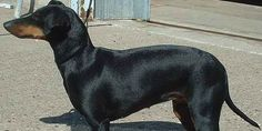 Manchester Terriers, The Smooth-Haired Terrier | DoggyZoo.com