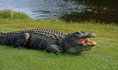 alligators - Google Search