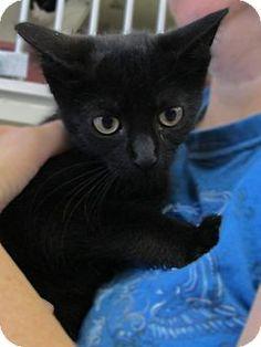Adopt a Pet :: Photo 1: DJ - Riverhead, NY -  Domestic ShorthairMix