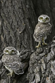 Amazing wildlife - LIttle Spotted Owlets photo #owls by Ghulam Rasool