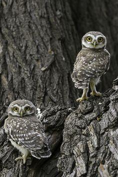 """""""Eye to Eye"""". Little Spotted Owlets   ©Ghulam Rasool Photography"""