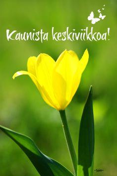 Auringon keltainen tulppaani :)