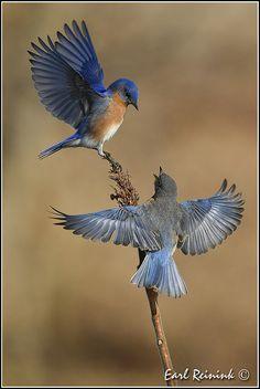 Eastern Bluebird - A tire d'ailes - Kunst Small Birds, Little Birds, Colorful Birds, Pretty Birds, Beautiful Birds, Animals Beautiful, Inspiration Tattoos, Bird Drawings, Bird Pictures