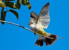 Chapada Flycatcher (Suiriri islerorum)