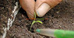 Totul despre repicarea răsadurilor | Paradis Verde Paradis, Gold Rings, Gardening, Green, Plant, Lawn And Garden, Horticulture