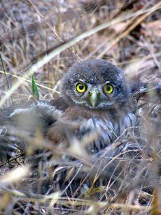 Northern Pygmy Owl Chick