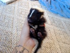baby skunk... IT'S SO FLUFFY!!!!
