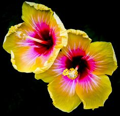 ~~Two Yellow Flowers by Samuel Collazzo - hibiscus~~