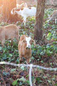This Family Rented Goats to Banish Their Yard of Overgrown Ivy.