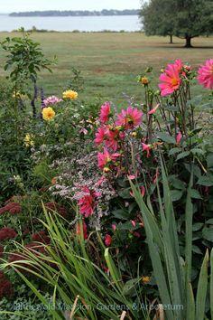 Dahlia 'Karma Fuchsiana' and Aster 'Lady in Black' in the North Garden Plants, Dahlia, Flowers, North Garden, Spring, Bloom, Perennials, Garden