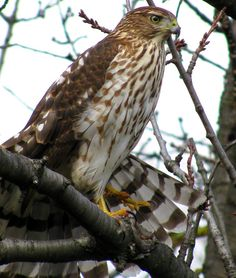 The Weather Network Cooper's Hawk, Weather Network, Bald Eagle, Feathers, Birds, Animals, Animales, Animaux, Bird