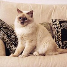 We've swabbed & run DNA on a Birman kitty much like this one. Yay, Birmans!