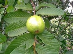 Benefits of Guava | The Wonders of Guava -- Alternative Cure