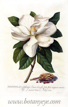 Botanical art magnolia