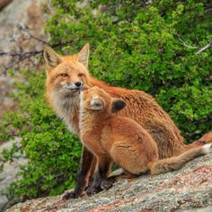 Red Foxes by David L Jones on 500px