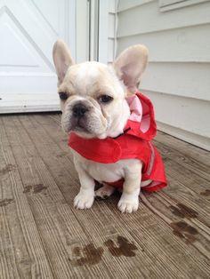Frenchie #frenchbulldog #frenchie