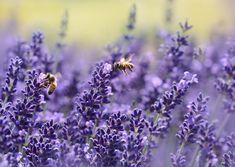 Лаванда, Пчела, Лето, Пурпурный, Сад, Нектар