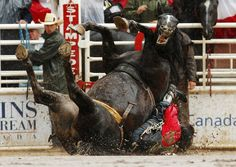 A horse falls on it's back.  don't go to rodeos But look at the expression on the horse's face!