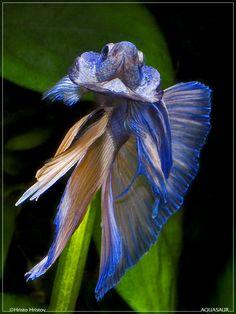 Flaring Halfmoon Betta Is it an Iris or a fancy fish?