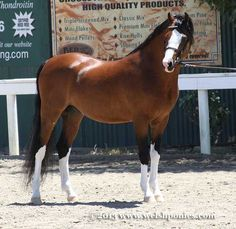 Imported Section B Welsh Pony colt *Mynach Master Class.  You can't help but adore a bay.
