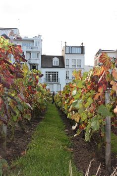 Vignobles de Montmartre.Vineyards of Montmartre, Paris.                                                                                                                                                                                 More