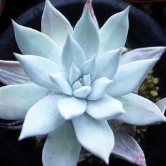 """178 Likes, 17 Comments - ゆず (@yuzu_succulents) on Instagram: """"仕事がひと段落つきましたー。 …と同時に、ヤフオクでウォッチしまくる僕の暴走右手親指を誰か止めてください(笑) . . #多肉植物 #ダドレア #クサンチ #succulent #dudllea…"""""""