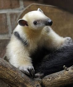A two-month-old anteater climbs on its mother's back at the zoo in Dortmund, western Germany.