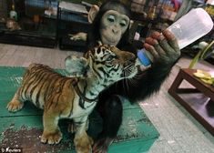 Baby Chimp Feeds Baby Tiger