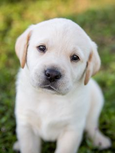 Please visit our website - breeds toys clothes for sale for sale for sale for adoption dog breeds dogs dogs a pet puppy of Cute Baby Dogs, Cute Dogs And Puppies, Cute Baby Animals, Animals And Pets, White Lab Puppies, Doggies, Baby Puppies, Nature Animals, Labrador Retriever