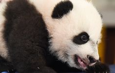 Bei Bei, the zoo's giant panda cub, snoozes during his media debut