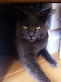 Edgar ~ The Chartreux, from France is a beautiful blue cat known for its smile. By tradition, all kittens born in a given year are named beginning with a specific letter of the alphabet for that particular year; so Edgar was born in 2009 ~ cool