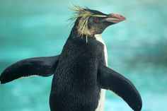 Ricky showing off his impressive physique! #penguin #rockhopperpenguin #londonzoo #penguinbeach #cute