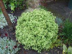 Pittosporum 'Golf ball' - good alternative to box ball, doesn't need trimming into shape, evergreen