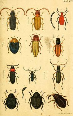 Color plate from Verzeichniss meiner Insecten-Sammlung by Jakob Sturm, Nürnberg, 1796  