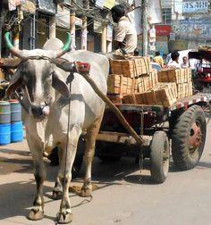 Bullock cart in Delhi