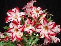 Adenium Obesum 'Border Gem' x 5 Seeds