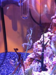 SaltCritters - Dwarf Seahorses, $10.00   make a salt water tank and fill them with seahorses!! takes some work but all worth it at the end.