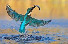kingfisher catching fish- FISH BEWARE!