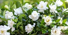 How to maximize gardenia blooms . Read more from Southern Living Plants Easy Care Plants, Plant Care, Gardenia Care, Organic Mulch, Gardenias, Vegetable Garden Design, Spring Blooms, Water Plants, Gardening For Beginners