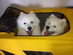 Beautiful Samoyed Friends getting ready for their camping trip