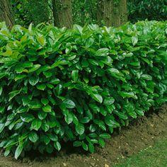 Cherry Laurel - Prunus laurocerasus 'Rotundifolia' - To use as a hedge