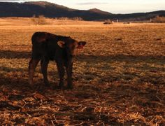 Spring calving at the Nicholas ranch in Spearfish, SD. Photo by Traci Eatherton.
